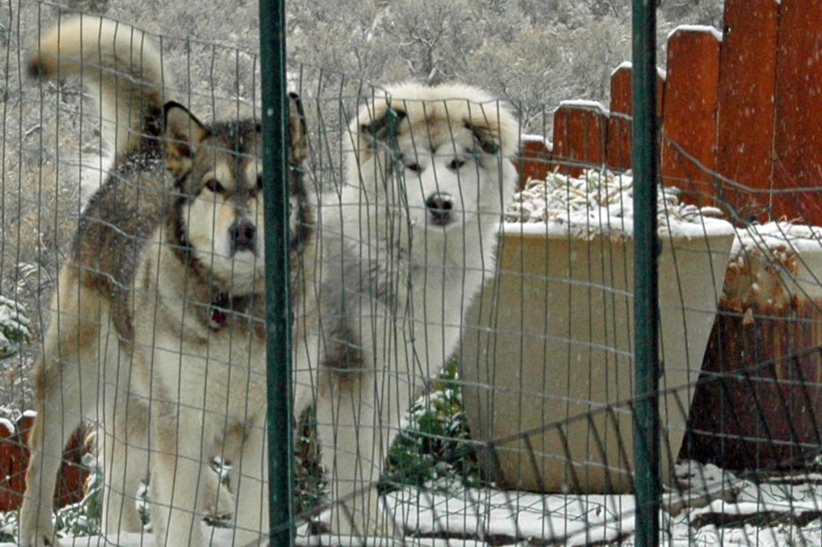 Romp in the snow - Denaya & Griffin
