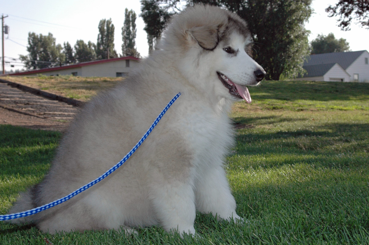 Griffin at 3 months old - a wooly malamute