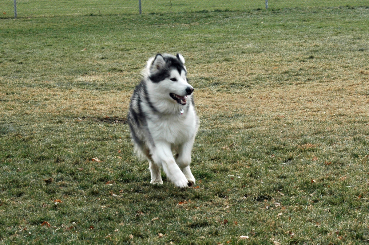 Having a run in the dog park (Griffin)
