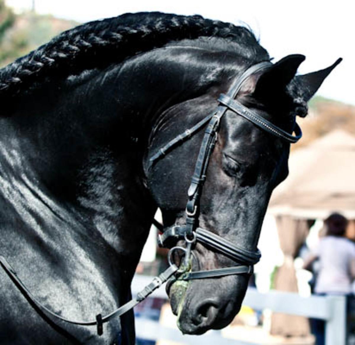 Friesian Horses: History and Beauty
