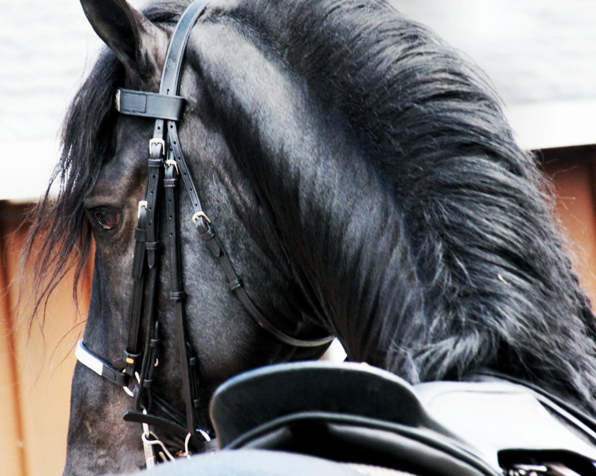 "Frisian Stallion ""Dash Rip Rock"""