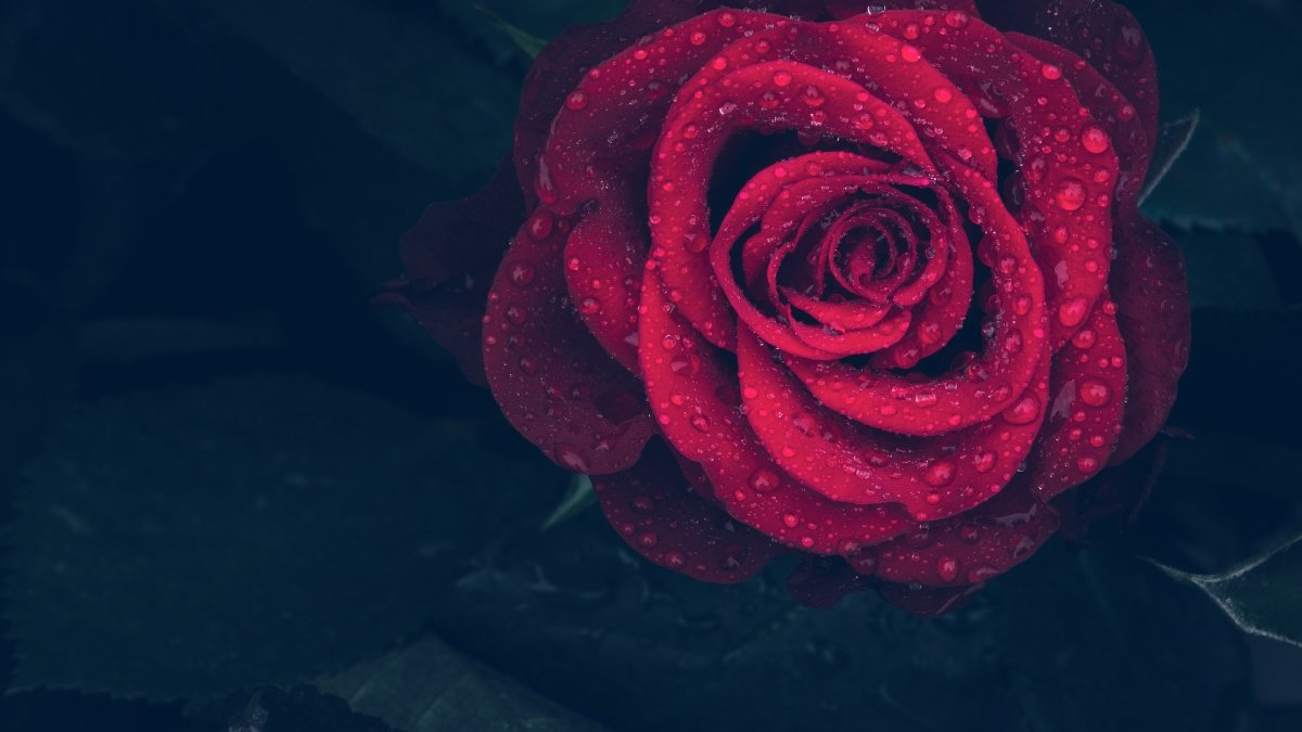 a-rose-a-day