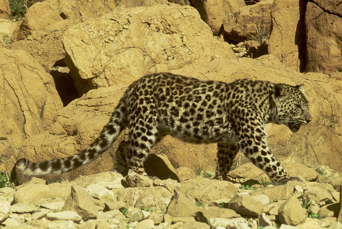 Arabian Leopard-almost extinct