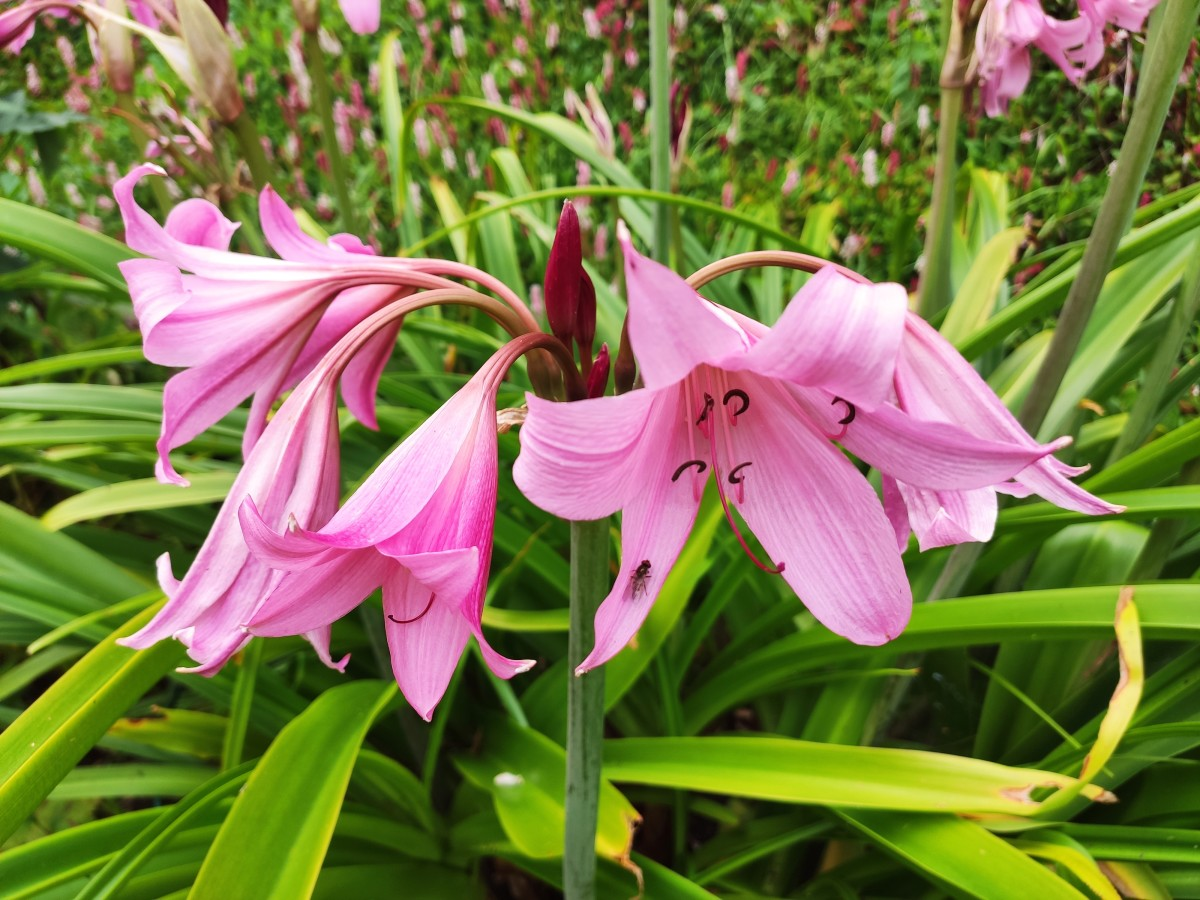 Crinum x powellii, also commonly known as Powell's swamp lily, flower from late summer through autumn.