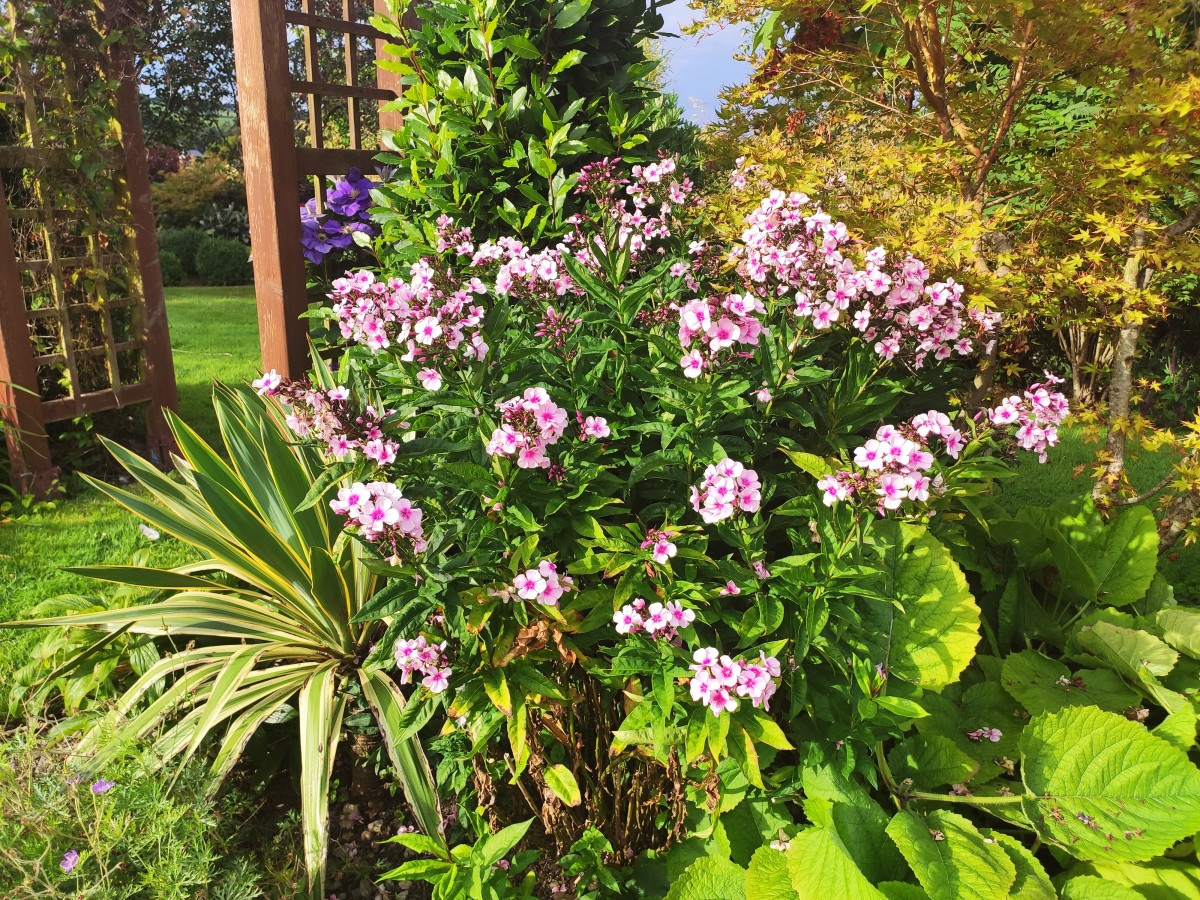 In addition to being gorgeous, most phlox cultivars are great at attracting pollinators to the garden.