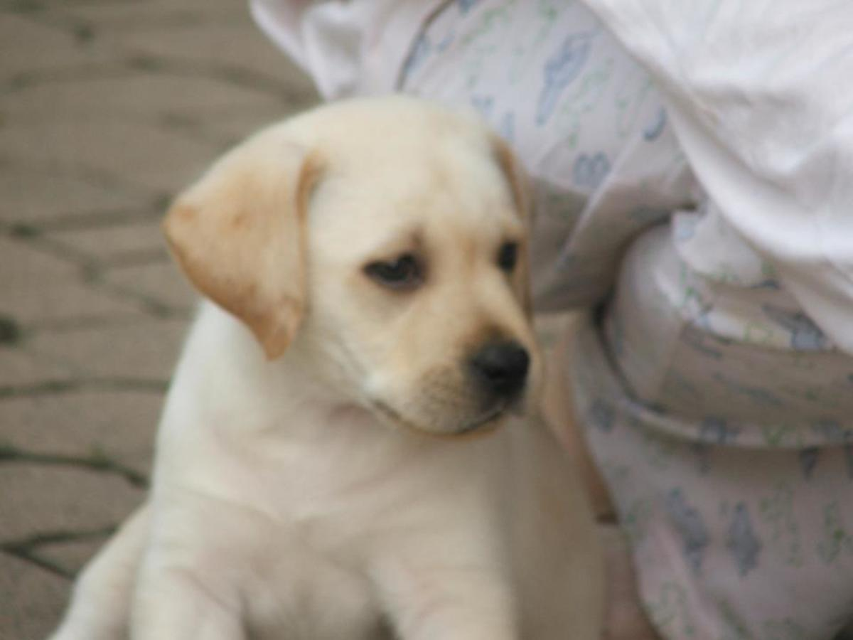 Labrador Retriever Training Forum Diet: Eating Habits for a Healthy Dog Food Routine