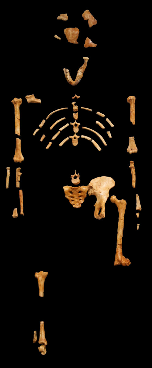 A cast of the remains of 'Lucy.'  Photo courtesy '120' & Wikimedia Commons.