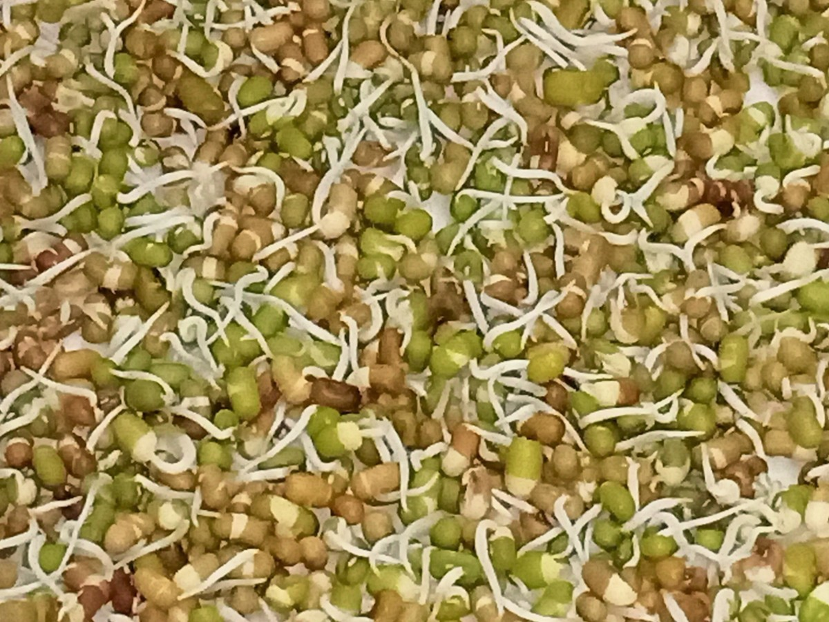 Mung bean and Moth bean sprouts