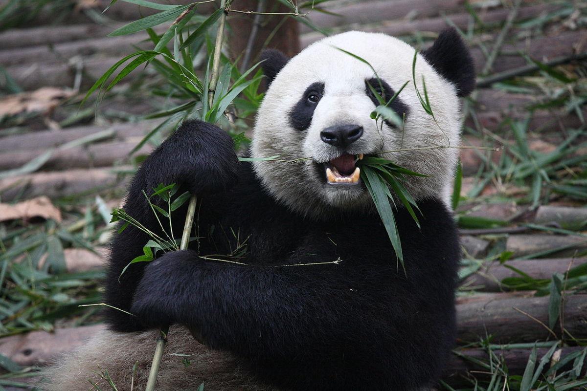 A giant panda eating bamboo at the Chengdu Research Base of Giant Panda Breeding in Sichuan