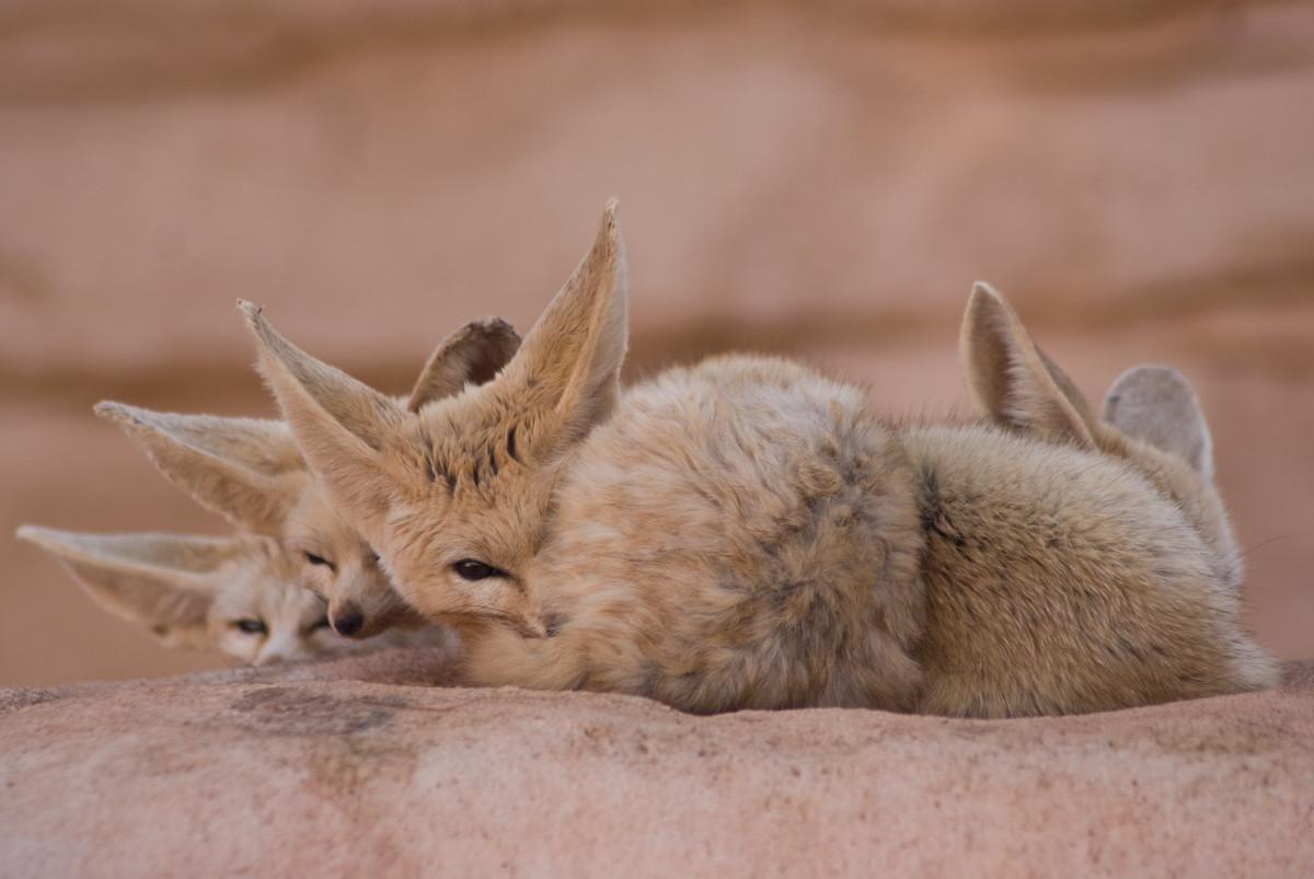 一群耳廓狐偷看他们的摄影师。