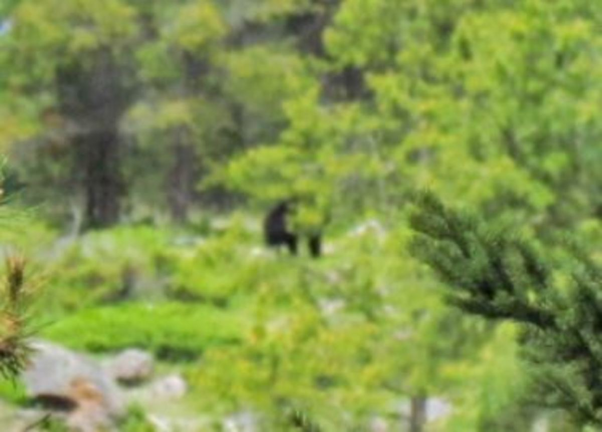 That black blip is a black bear, Jasper 2013.