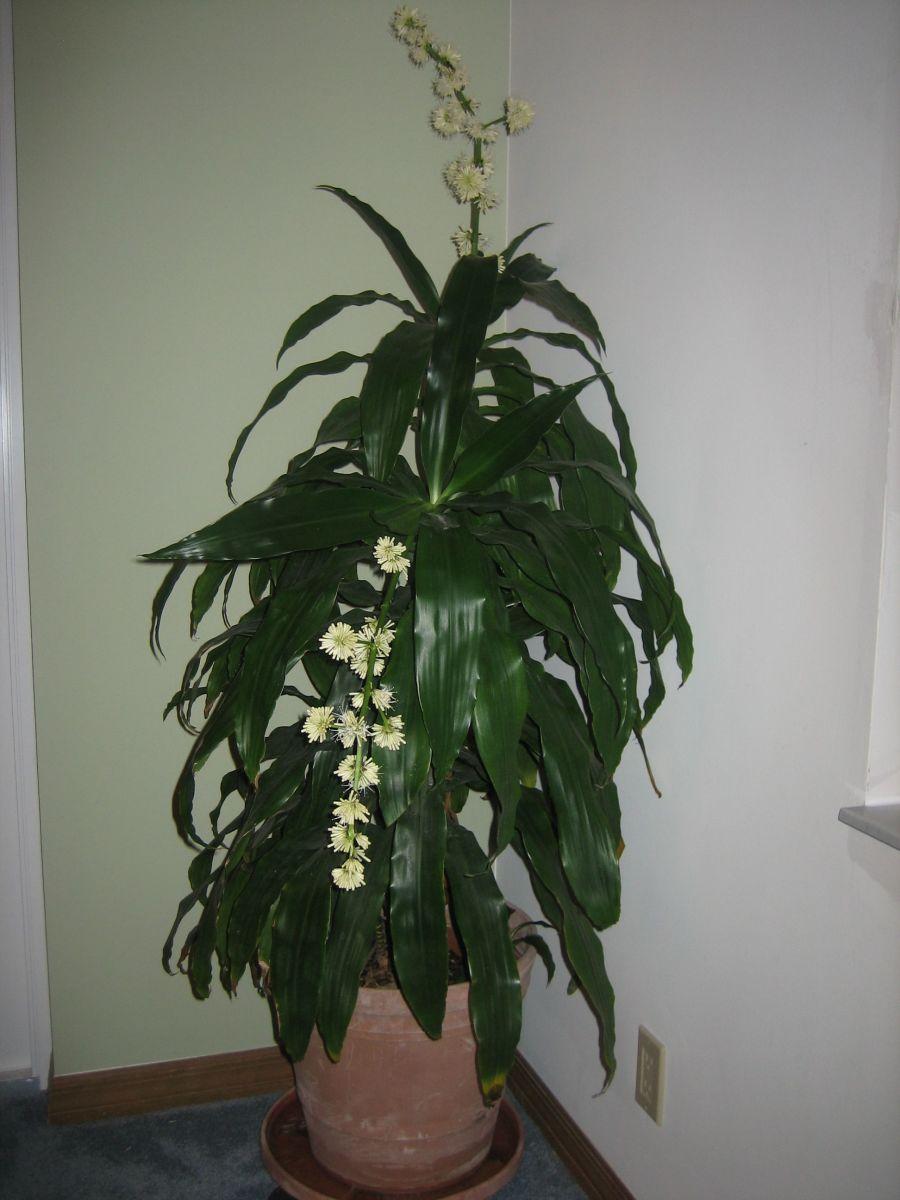Janet Craig Dracaena (flowering)