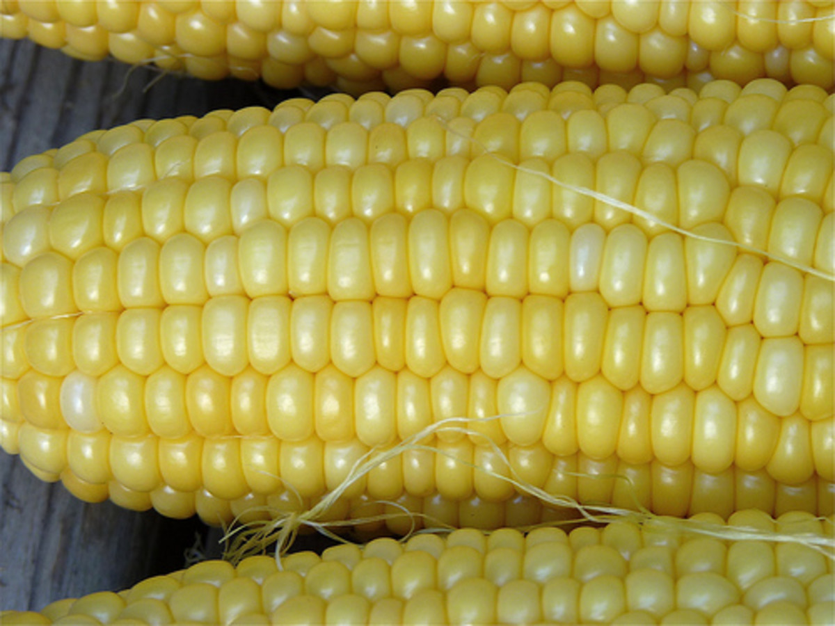 Ears of Corn (Photo courtesy by normanack from Flickr.com)