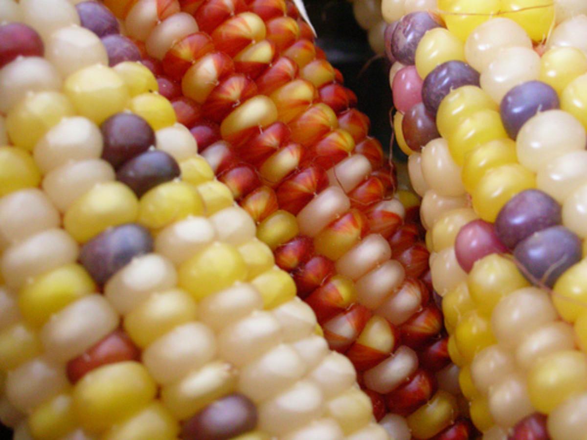 Colorful Corn (Photo courtesy by Alessandra Cimatti from Flickr.com)