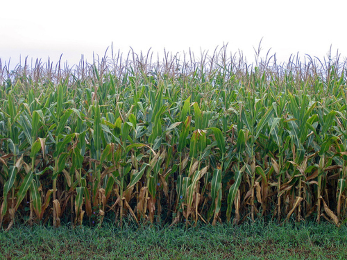 Corn Field (Photo courtesy by wharman from Flickr.com)