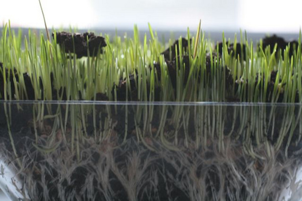 Growing Wheat Grass (Photo courtesy by thebittenword.com from Flickr.com)