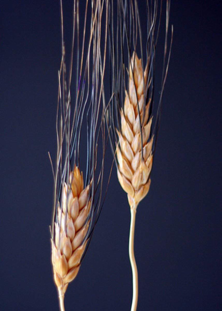 Wheat Sheaves (Photo courtesy by John-Morgan from Flickr.com)