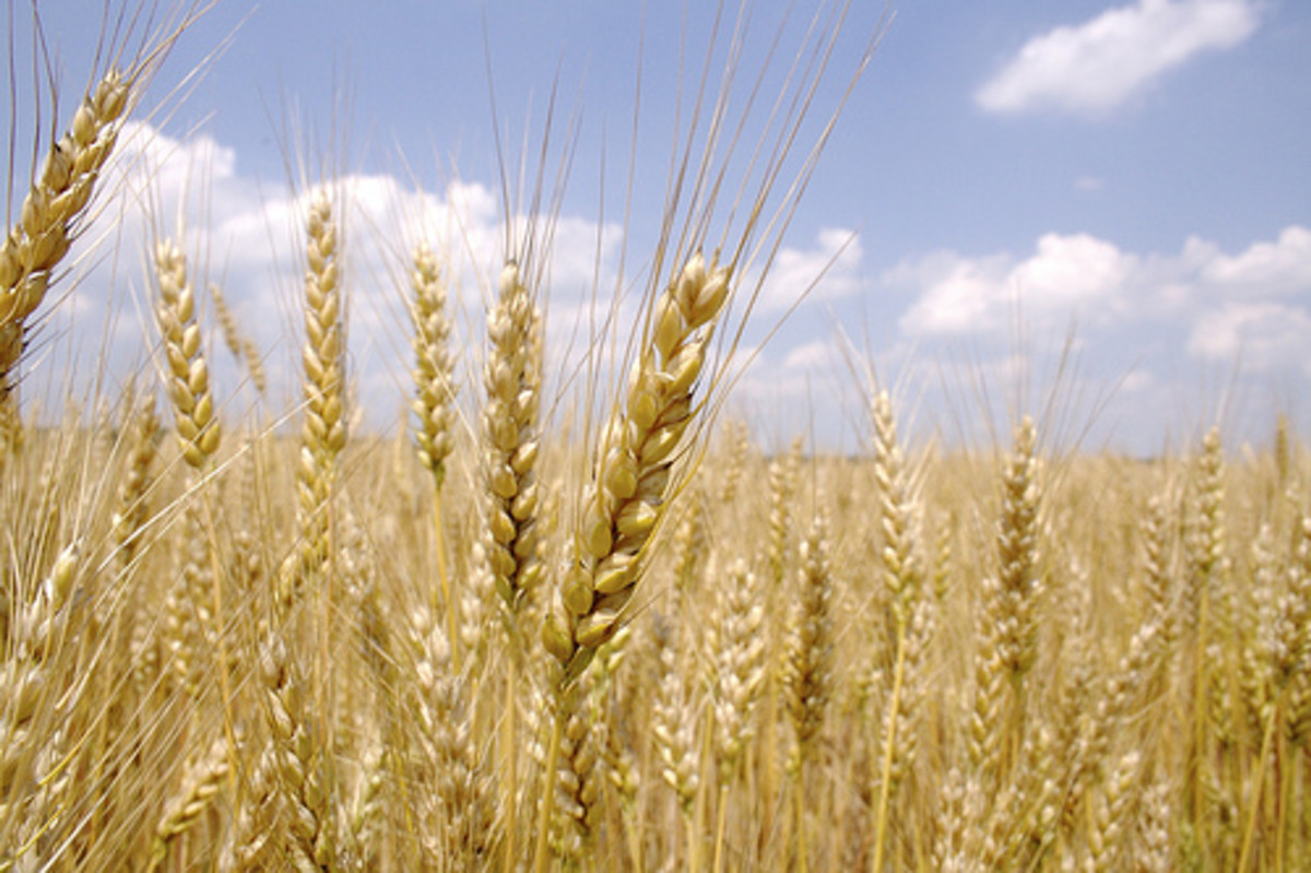 Ripe Wheat (Photo courtesy by tim vanreenen from Flickr.com)