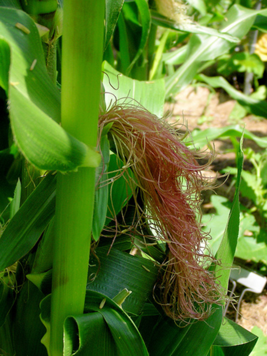 Corn Silk (Photo courtesy by normanack from Flickr.com)