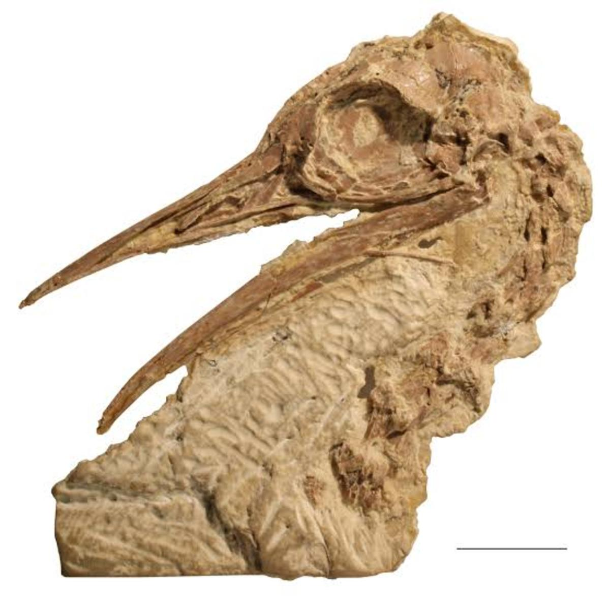 Photo of fossils found in North America that was used to proof that Ostriches once inhabited the region.