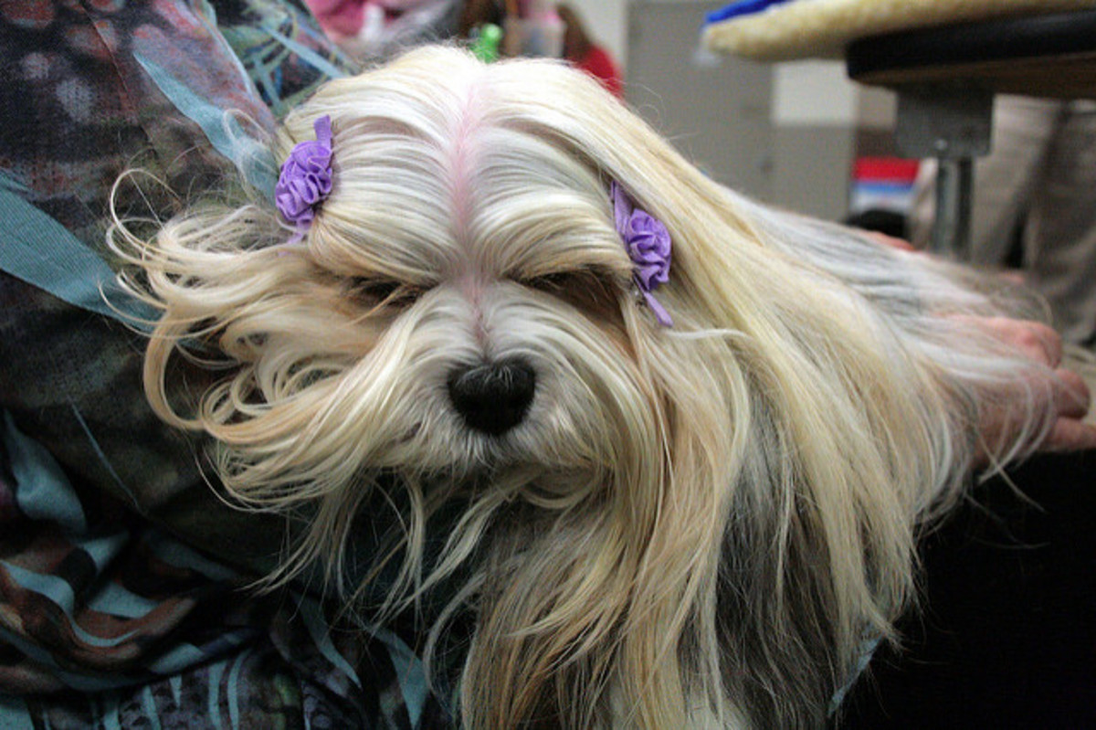 A lap dog, the Lhasa Apso is calm unless on the alert.