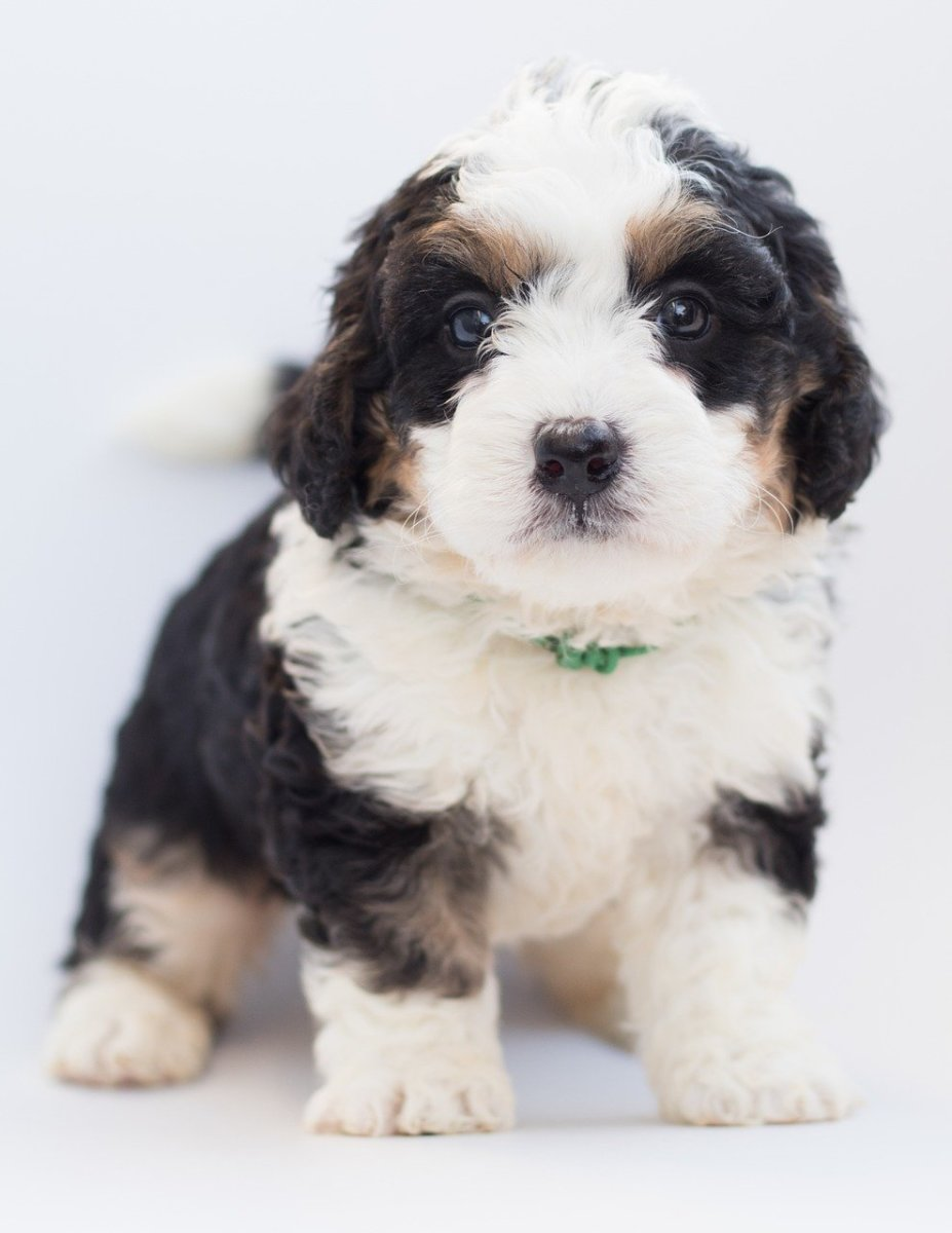 The Bernedoodle is one of the calmer giant hybrids available.