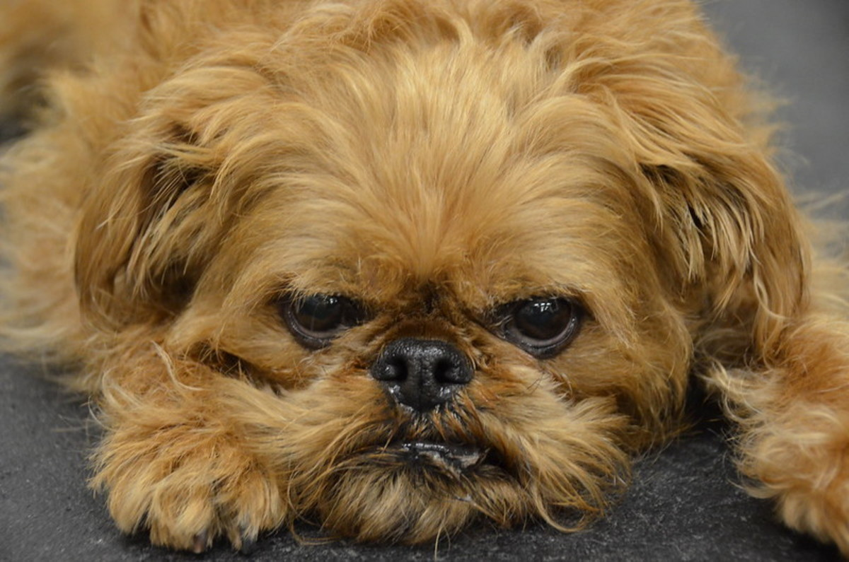 Brussels Griffons are calm when with their family.