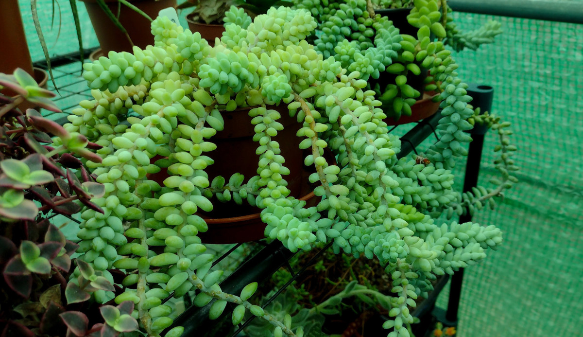 This thriving sedum is a prime candidate for propagation.