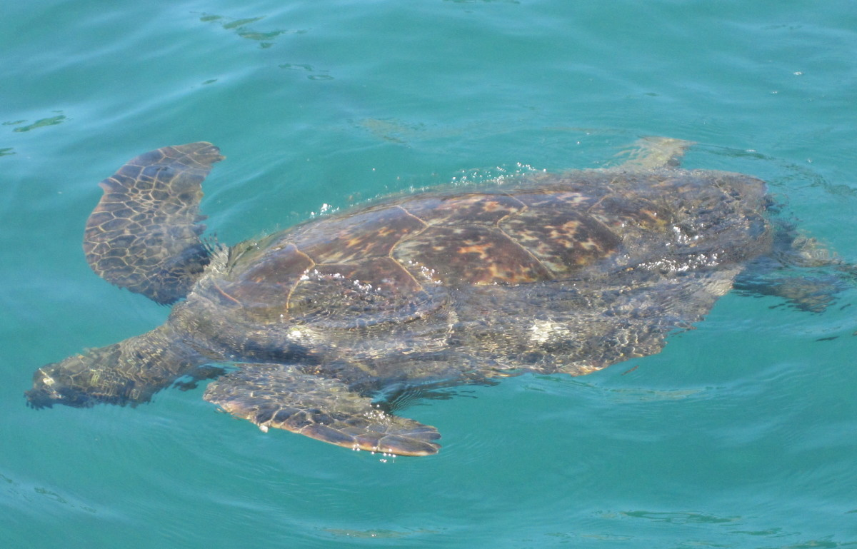 Huge sea turtle in Kona, Hawaii.