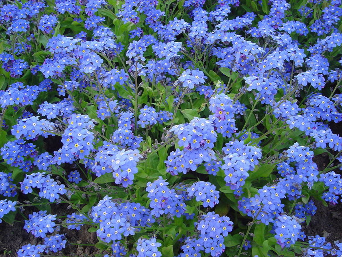 Forget-Me-Nots are official flowers for Grandparents Day