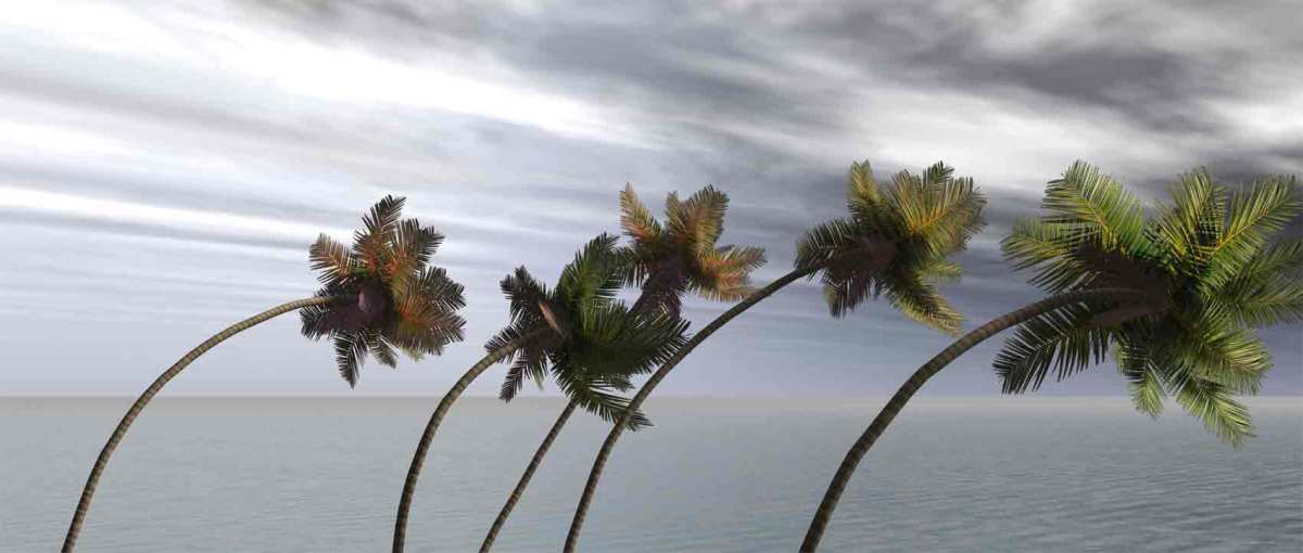Palm Trees in High Winds