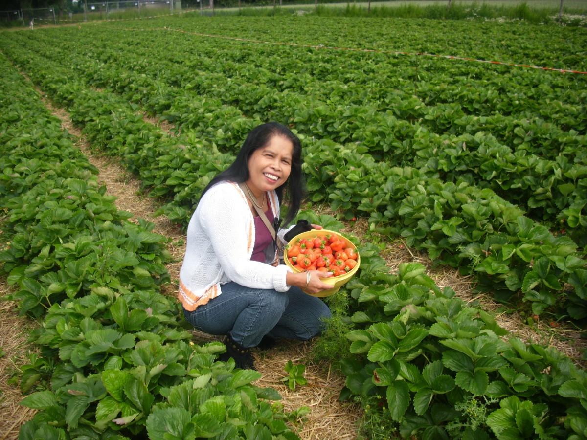 Me harvesting strawberries.
