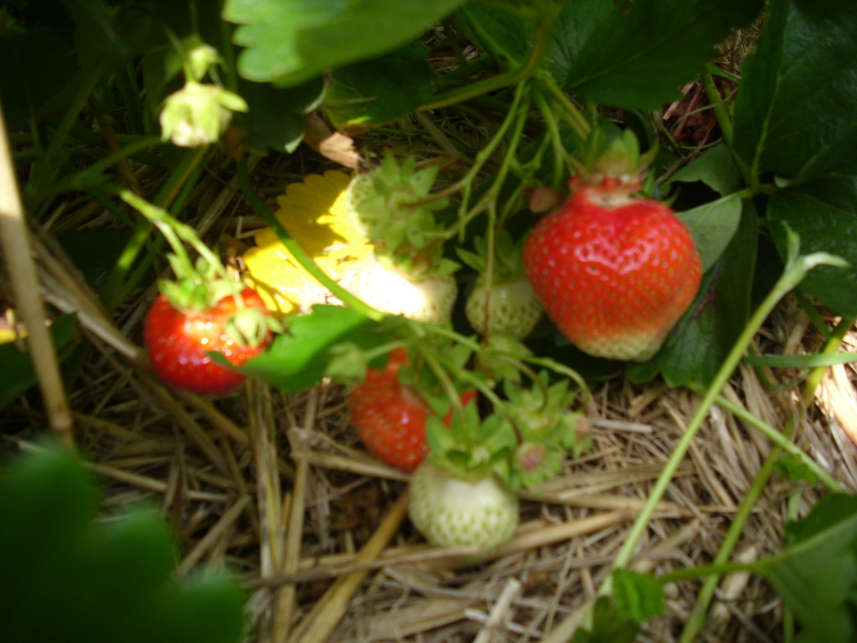 Strawberries to be harvested.