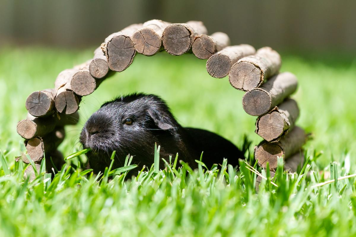 how-to-make-your-guinea-pig-comfortable-in-its-cage