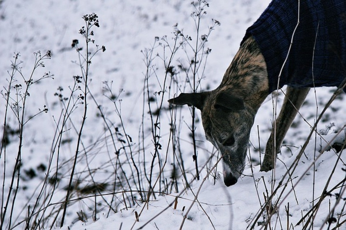 Dog hunting in snow