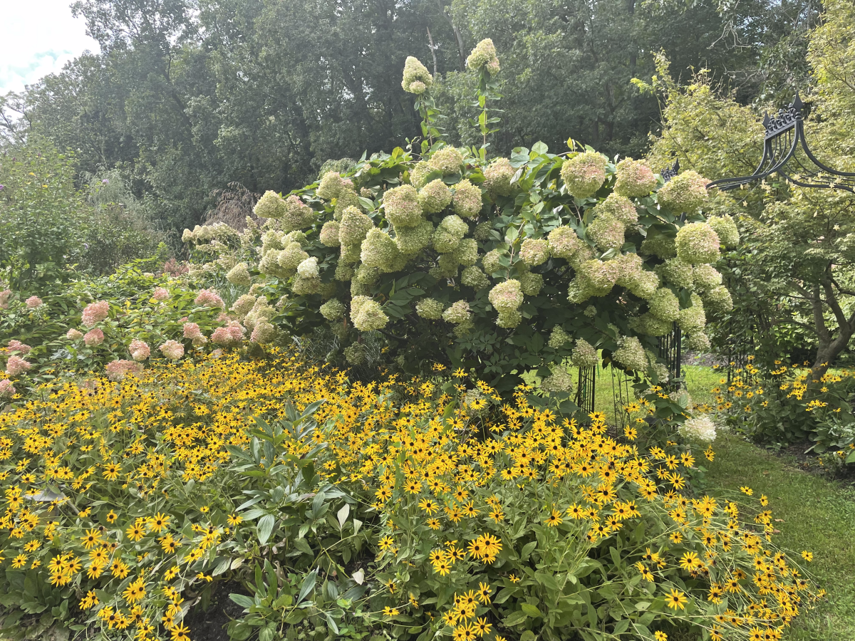 In this image, you can see two Limelight hydrangea plants—one's a little pinker than the other.