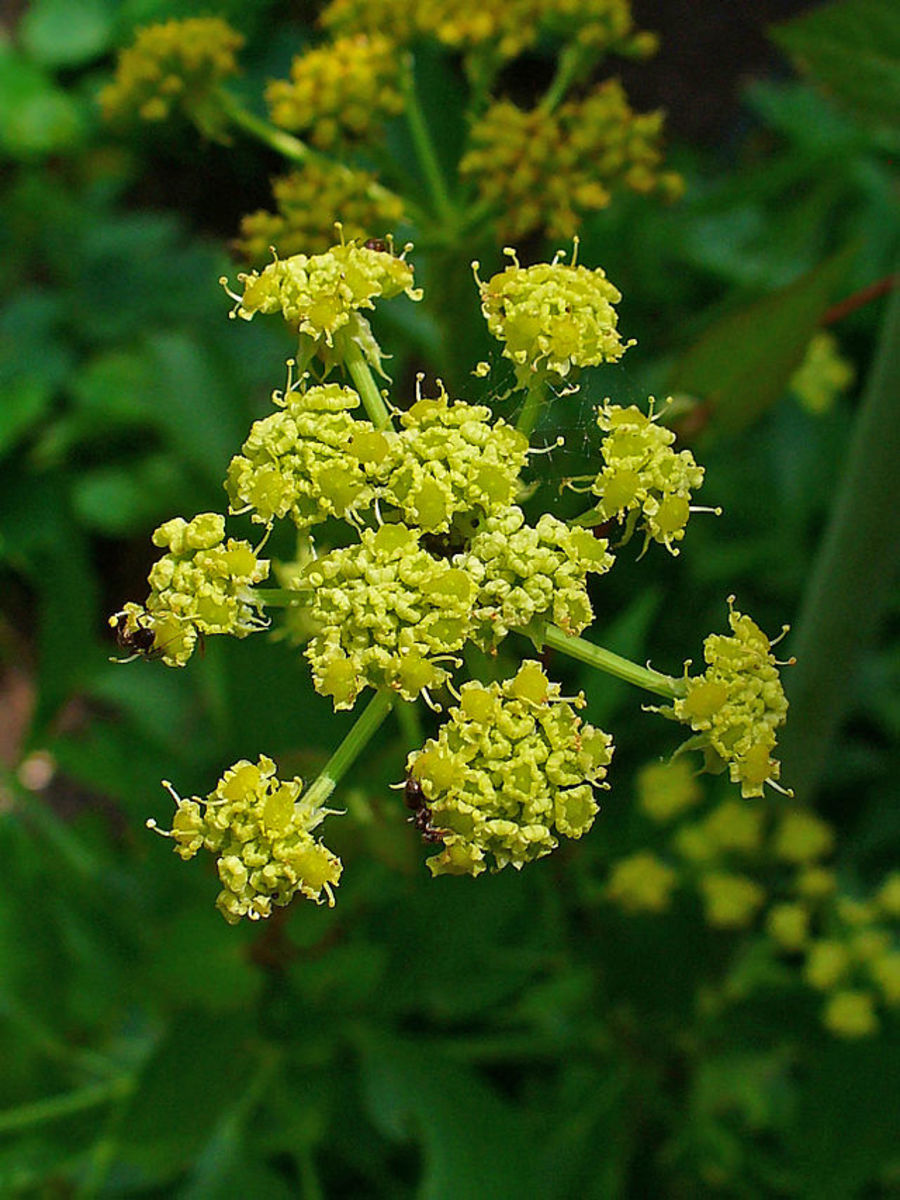 Lovage flowers (Levisticum officinale)