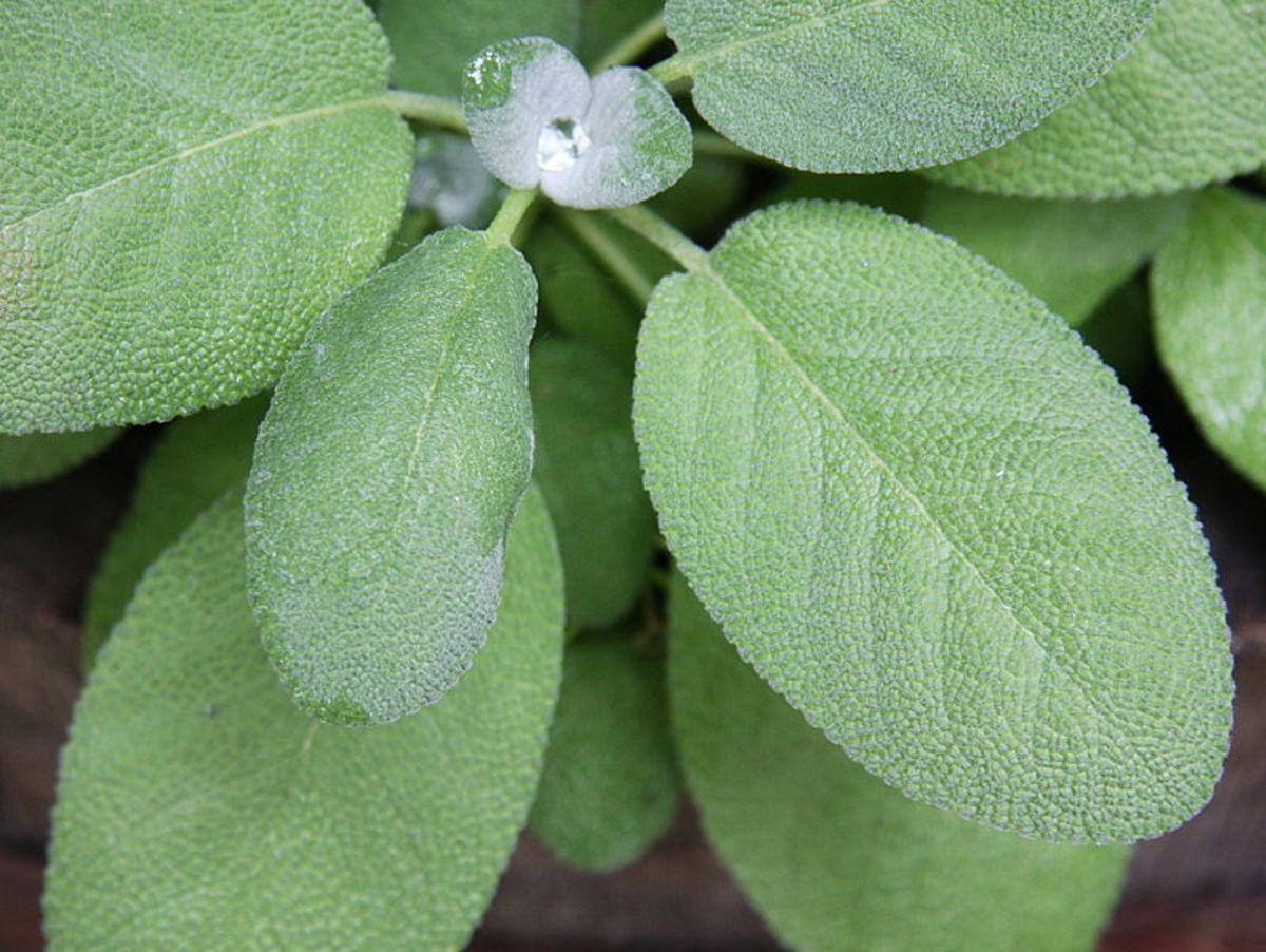 Sage (Salvia officinalis) leaves.