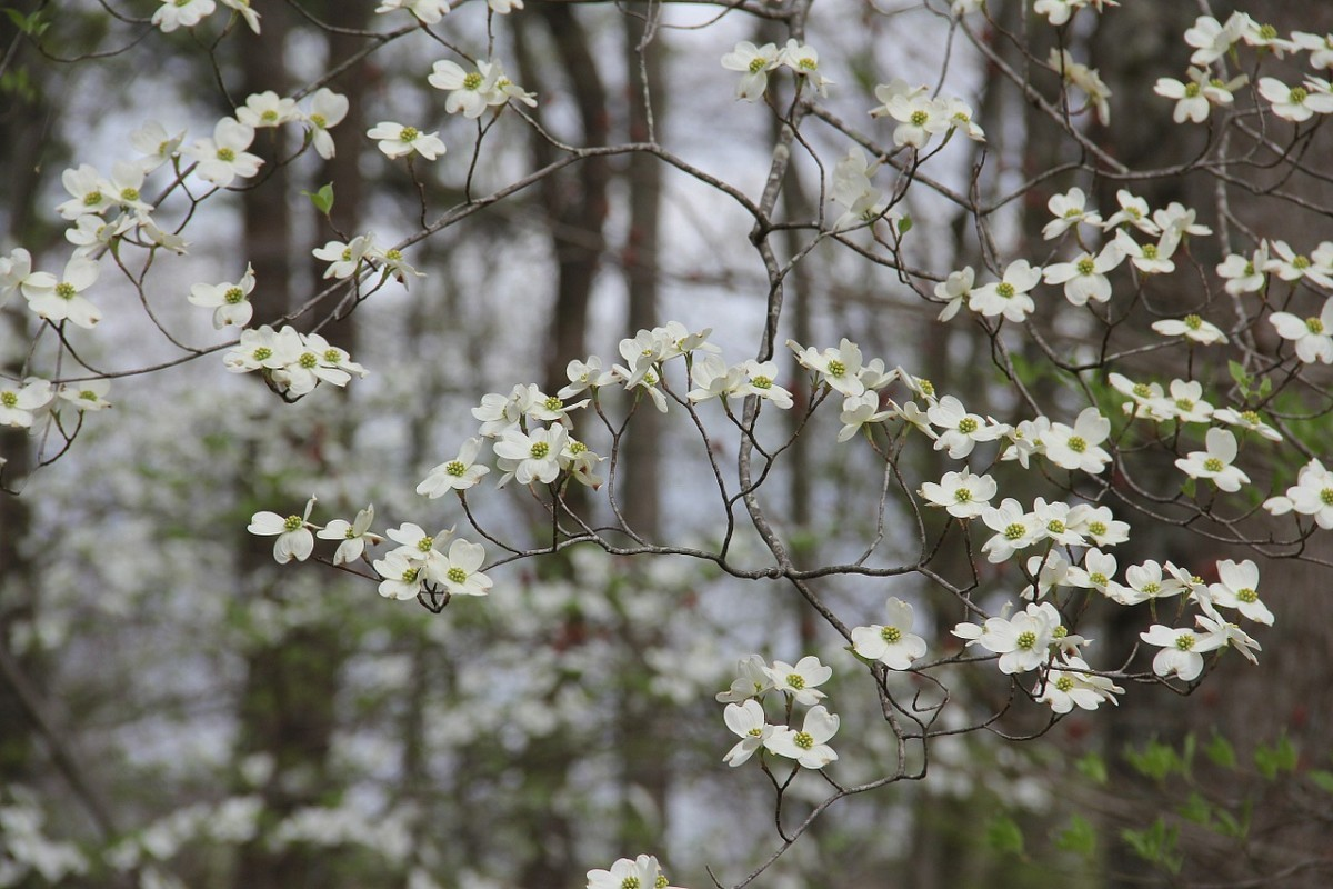 Dogwood blooms light up the Buckeye state landscape in spring. A common sight along wooded trails.