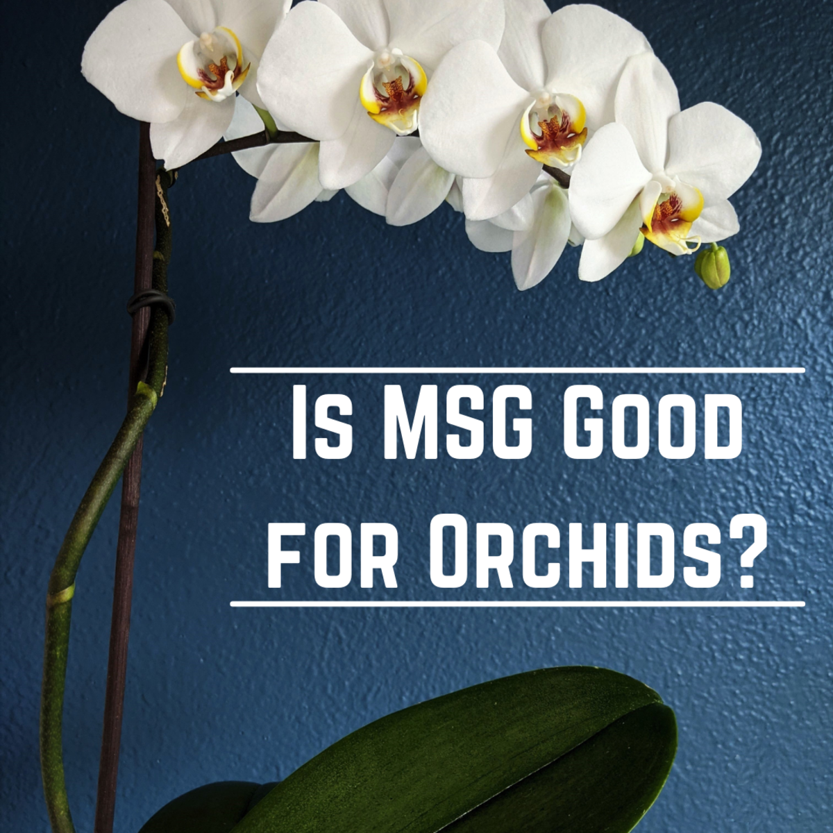 We know that MSG is good as a fertilizer in a lot of gardening and small-scale farming. Is it as successful on orchids?