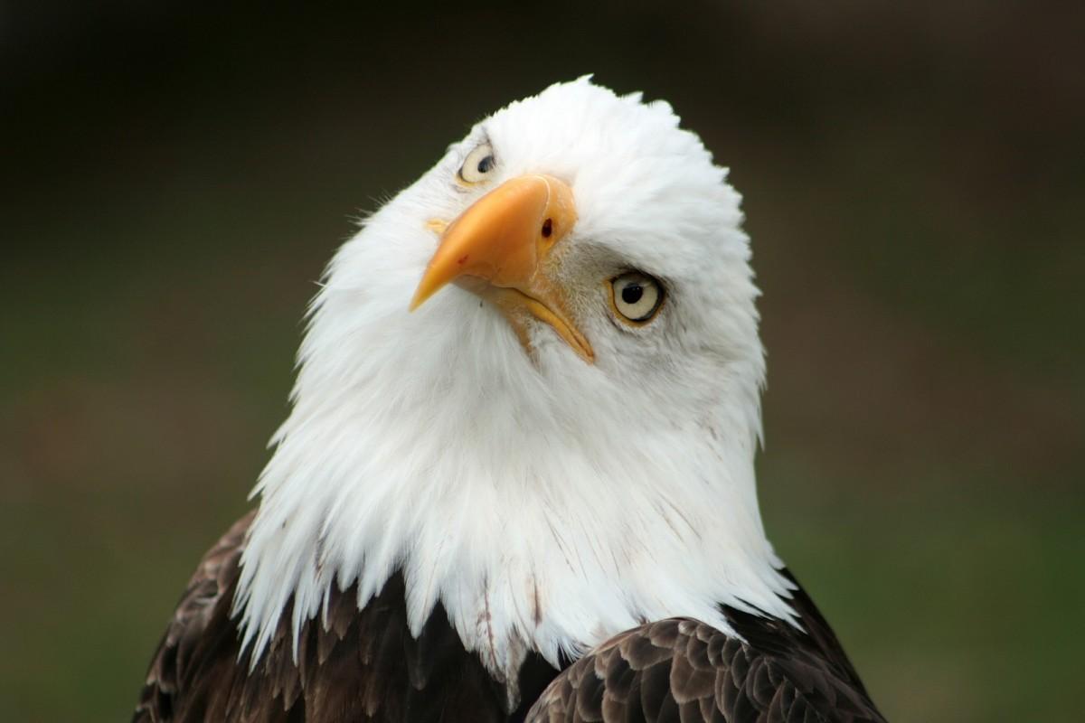 Bald Eagle   National Bird