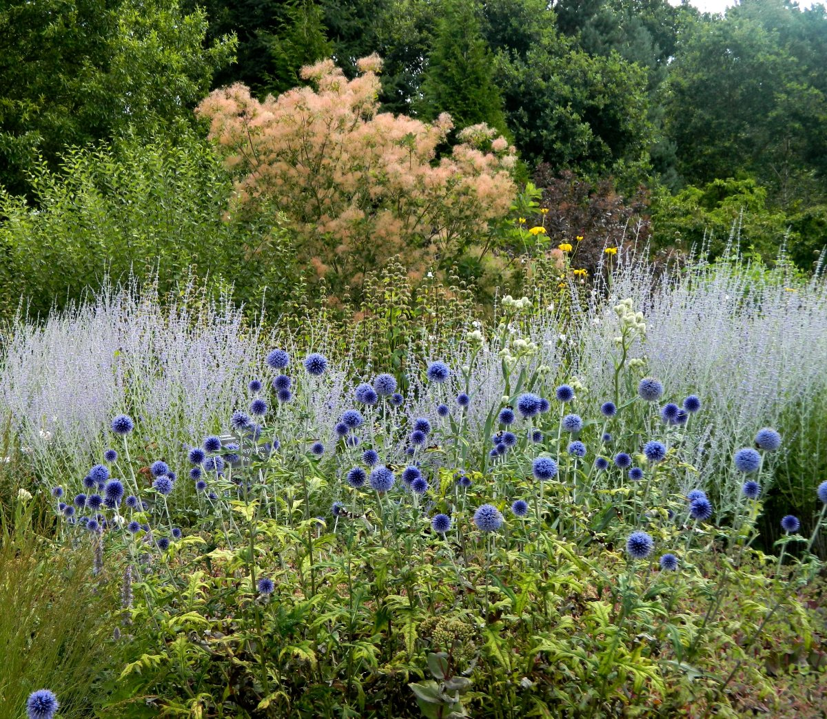 Echinops bannaticus, more commonly known as globe thistle, makes for a beautiful late-summer bloom in the garden.