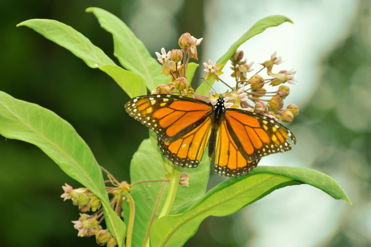The Monarch Butterflies Have Returned. How To Butterfly Project For Children. Saving The Monarchs.