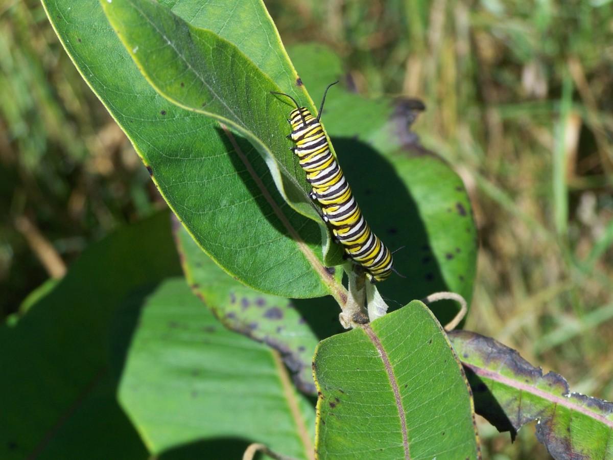 Monarch Large Caterpillar