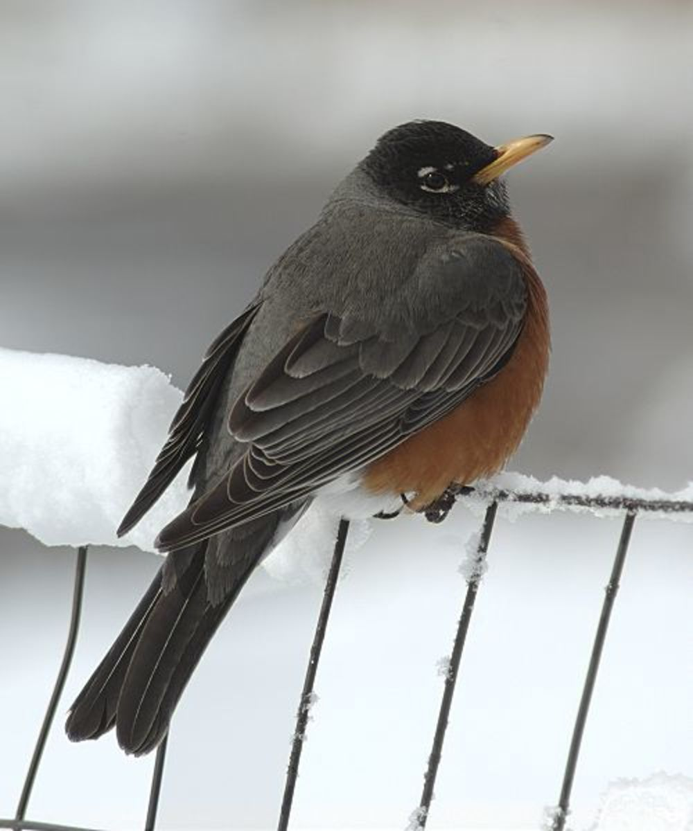 American Robin in snow.  Image courtesy Jerry Friedman and Wkimedia Commons.