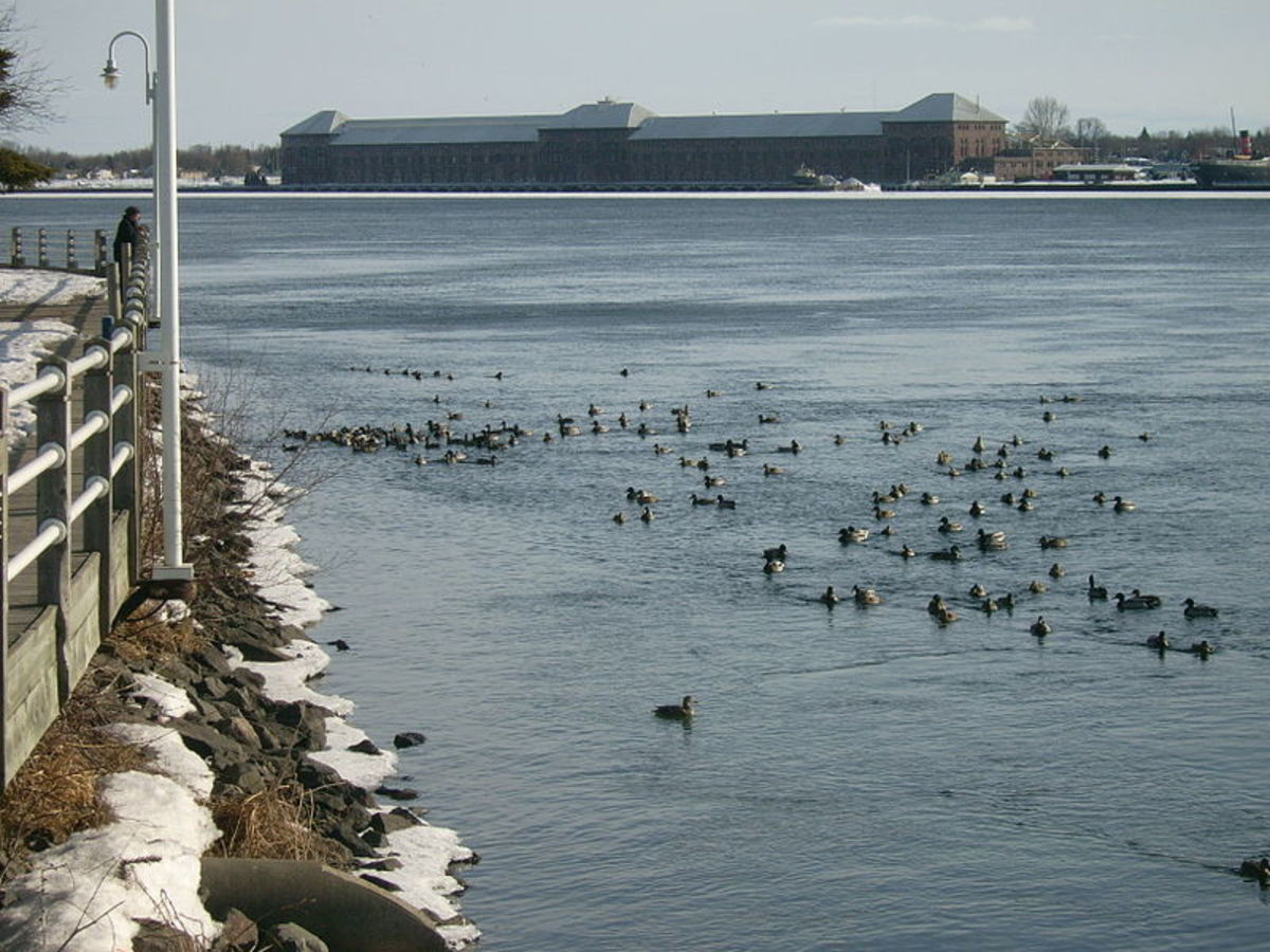Mallards in the St. Mary's River.  Image courtesy FungusGuy and Wikimedia Commons.