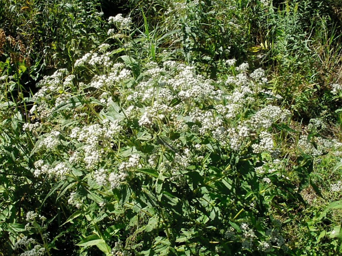 Boneset is an attractive plant, which attracts many insects.