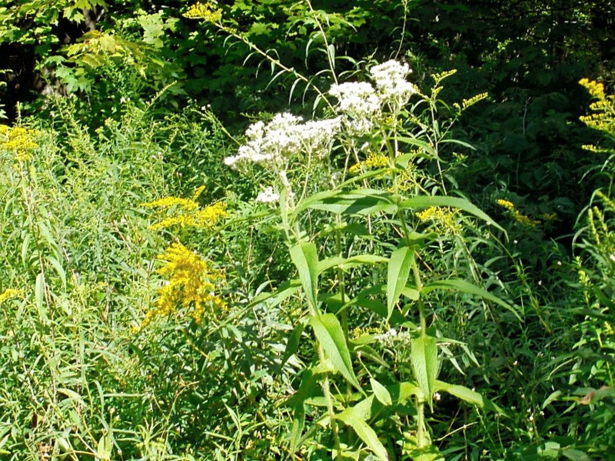 Boneset blooms the same time as the all important goldenrod.