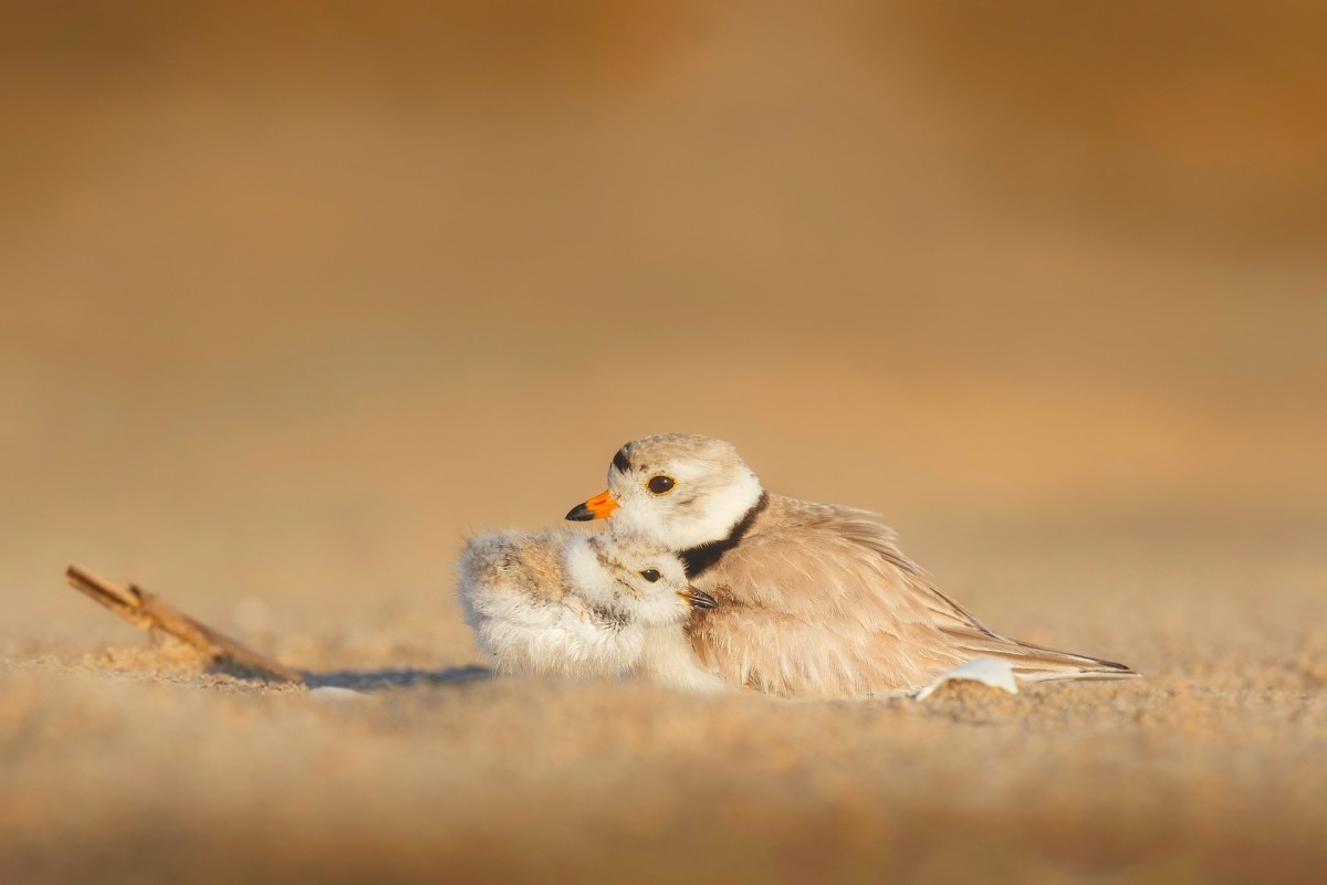 Birds Chick Mother Wildlife Protection Beach Sand