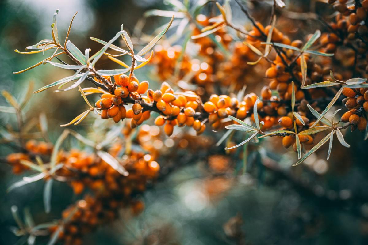 Sea Buckthorn also produces edible berries